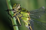 Ophiogomphus cecilia